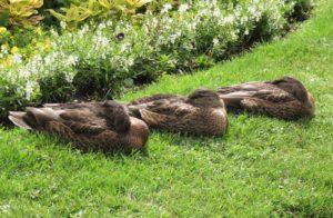 feedback with an image of three sleeping ducks in a row