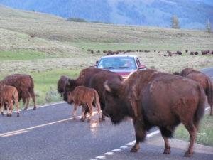 heard of bison