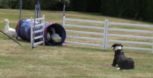Duck on a agility course with a sheep dog